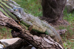Iguana on a wood ful body Stock Image