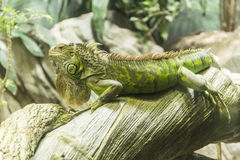 Iguana on a wood Stock Images