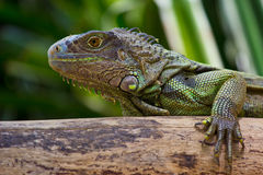 Iguana. On wood in park Stock Photos