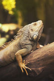 Iguana on wood. Iguana sitting on a trunk of a tree Stock Photo