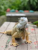 Iguana on a wooden bench Stock Images