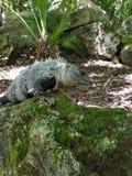 Iguana in xcaret. Iguana in eco park xcaret mexico Royalty Free Stock Photography