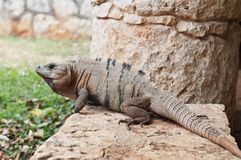 Iguana at Xcaret, Mexico Stock Photo