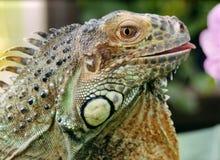 Iguana y flor Fotos de archivo