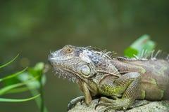 Iguana, zagrożoni gatunki jaszczurka iguana zielony portret Zdjęcie Stock