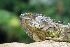 Iguana, zagrożoni gatunki jaszczurka iguana zielony portret Fotografia Stock