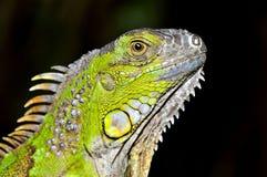 Iguana zielony Portret Zdjęcia Royalty Free