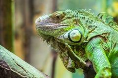 iguana zielony portret Obrazy Stock