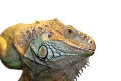 iguana zielony portret Zdjęcie Stock