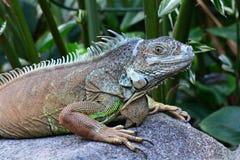 iguana zielony portret Fotografia Royalty Free