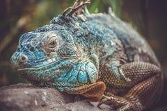 iguana in zoo fotografia stock