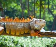 iguana zoo Zdjęcia Stock