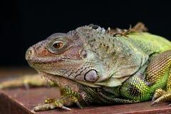 Iguana. In zoo Stock Images