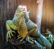 Iguana. An iguana at the zoo Stock Image