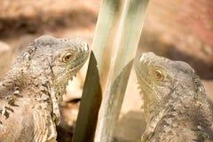 Iguana in zoo in Argentina fotografia stock