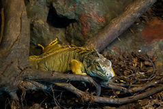 Iguana in a zoo. An iguana between branch and rocks Royalty Free Stock Image