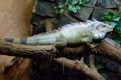Iguana at the zoo - Brazil Stock Image