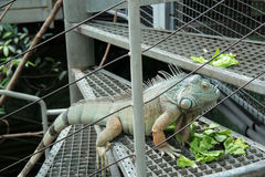 Iguana in the zoo Stock Photo