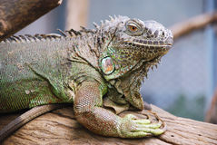 Iguana in the zoo Royalty Free Stock Photo
