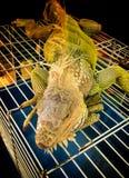 Iguana in a zoo Royalty Free Stock Photo