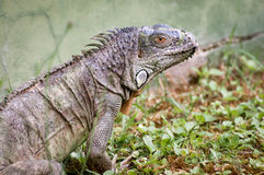 Iguana on zoo portrait Royalty Free Stock Image