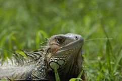 Iguana10197 Royalty Free Stock Photography