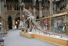Iguanadon, museo de la historia natural de Oxford Imagen de archivo libre de regalías
