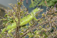 IguanaIguana Photo stock