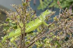 Iguana Iguana. Geen iguana of Grand Cayman Stock Photo