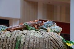 Iguanas και κινεζικός δράκος νερού σε έναν βράχο Στοκ φωτογραφία με δικαίωμα ελεύθερης χρήσης