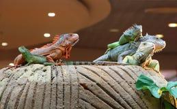Iguanas και κινεζικός δράκος νερού σε έναν βράχο Στοκ Φωτογραφίες
