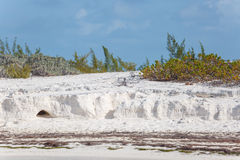 Iguanas νησιών, άγρια φύση χρωματισμένος cayo βραδύτατος πολυ φοίνικας τρία της Κούβας δέντρα στοκ φωτογραφία
