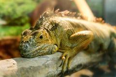 Iguanas που ύπνοι σε έναν παχύ κλάδο Στοκ Εικόνες