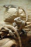 Iguanas Stock Photo