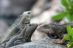 Iguanas Royalty Free Stock Photo