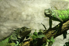 Iguanas. Couple of iguanas resting on a branch Royalty Free Stock Images