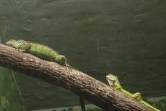 Iguanas Στοκ εικόνα με δικαίωμα ελεύθερης χρήσης