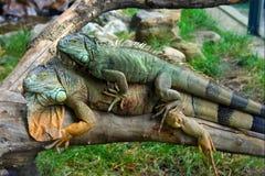 iguanas Fotografia Stock