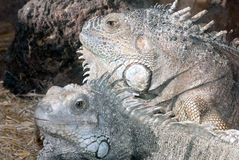 iguanas Imagenes de archivo