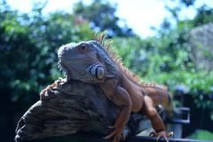 iguanas bask on tree branches stock photography