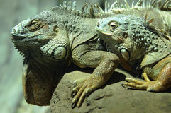 Iguanas Stock Photography