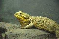 Iguanas Royalty Free Stock Photo