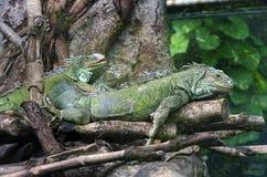 Iguanas Royalty Free Stock Photography