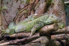 Iguanas Royalty Free Stock Photos
