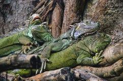 Iguanas Stock Photos