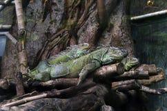 Iguanas Stock Images