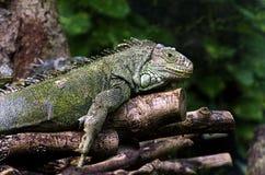 Iguanas Royalty Free Stock Image