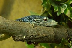 Iguanas Blue on the tree royalty free stock photos