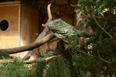 Iguanas Royalty Free Stock Photography