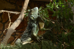 Iguanas Royalty Free Stock Photos
